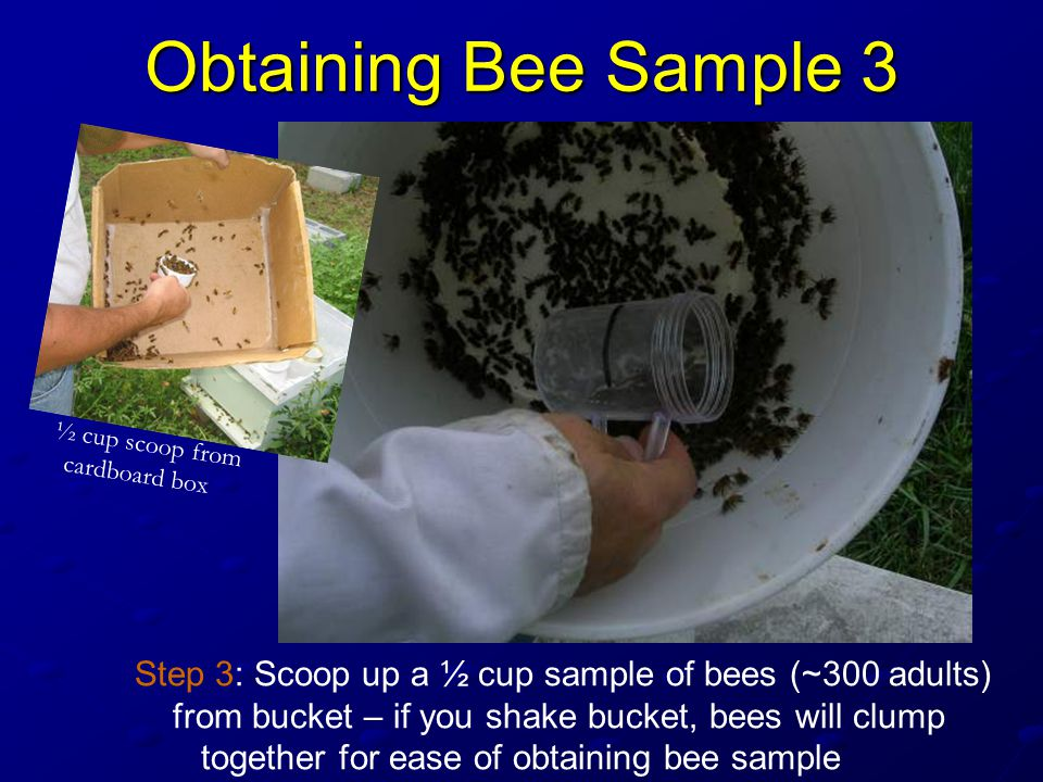 Obtaining Bee Sample 3 Step 3: Scoop up a ½ cup sample of bees (~300 adults) from bucket – if you shake bucket, bees will clump together for ease of obtaining bee sample ½ cup scoop from cardboard box