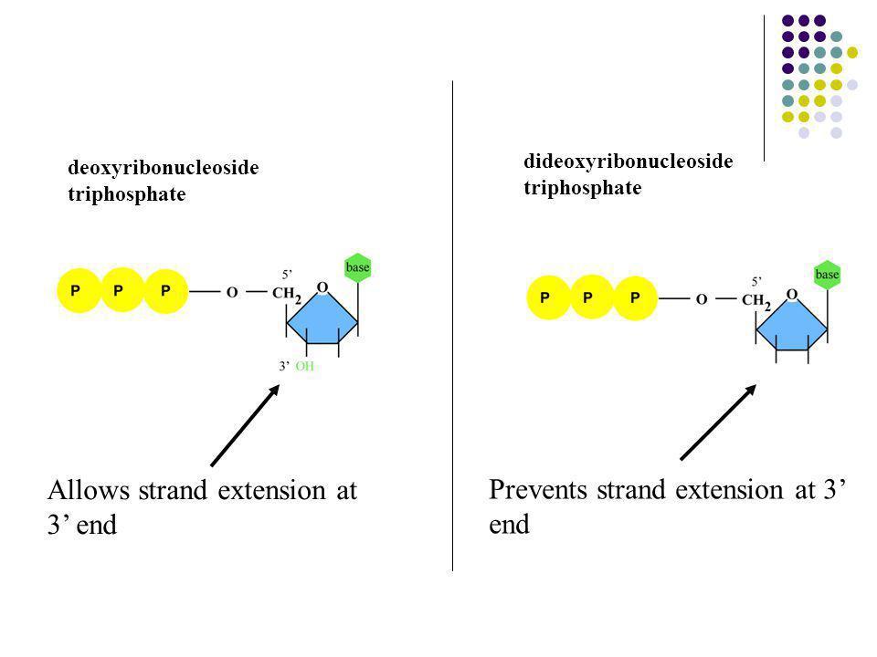 deoxyribonucleoside triphosphate dideoxyribonucleoside triphosphate Allows strand extension at 3' end Prevents strand extension at 3' end