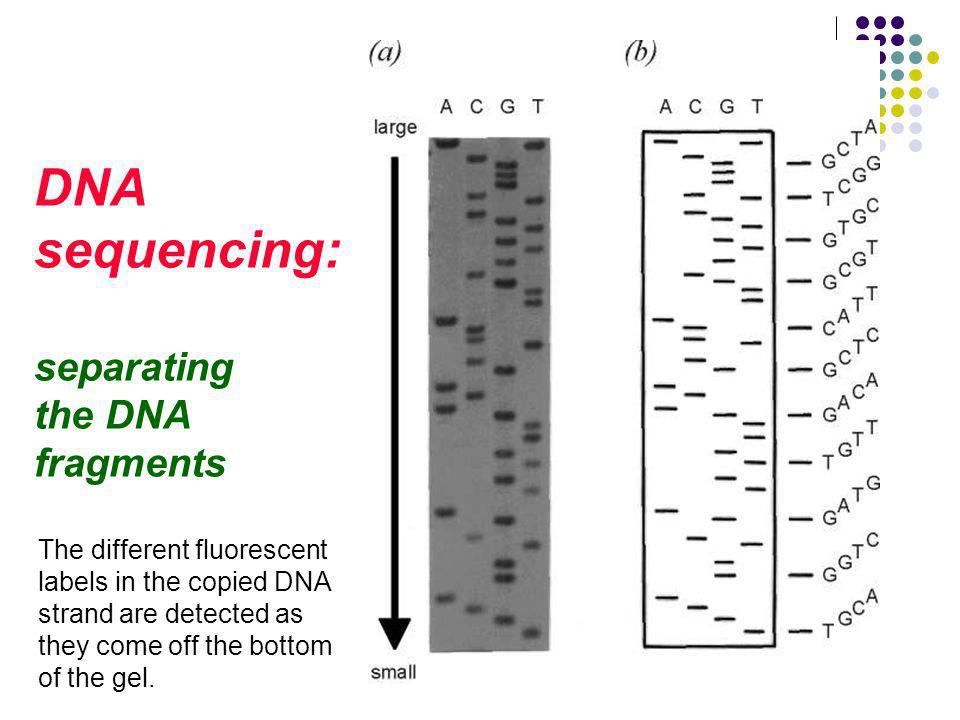 DNA sequencing: separating the DNA fragments The different fluorescent labels in the copied DNA strand are detected as they come off the bottom of the gel.
