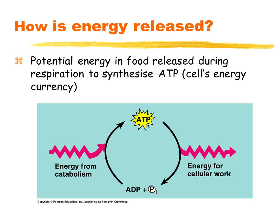 6 How is energy released.