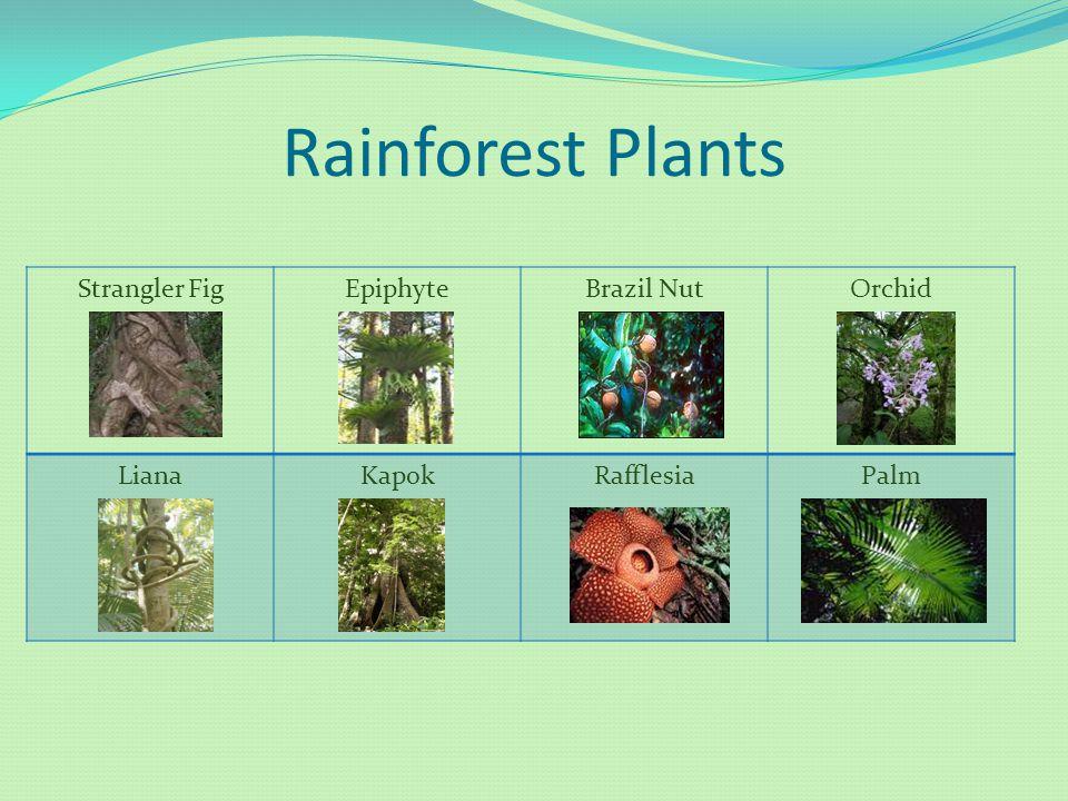 Rainforest Plants Strangler FigEpiphyteBrazil NutOrchid LianaKapokRafflesiaPalm