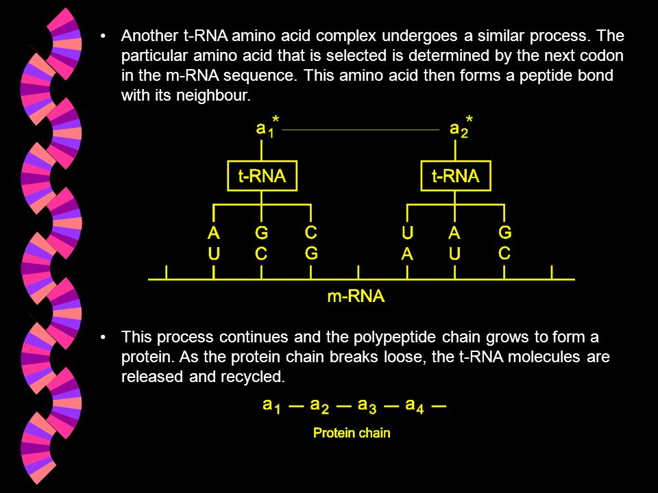 Another t-RNA amino acid complex undergoes a similar process. The particular amino acid that is selected is determined by the next codon in the m-RNA