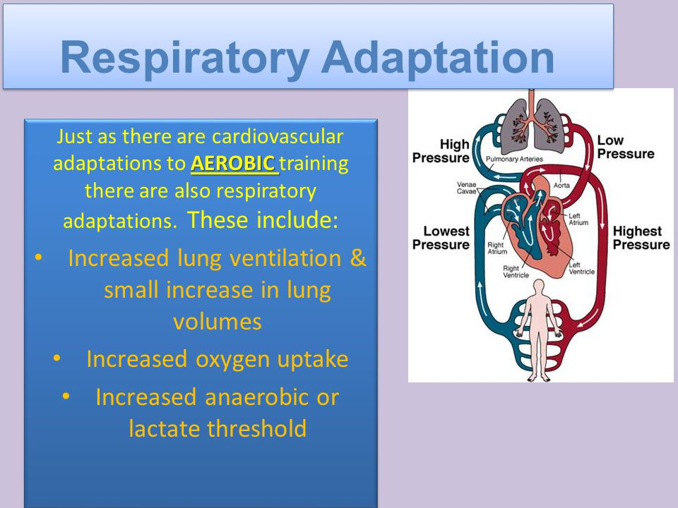 AEROBIC Just as there are cardiovascular adaptations to AEROBIC training there are also respiratory adaptations.