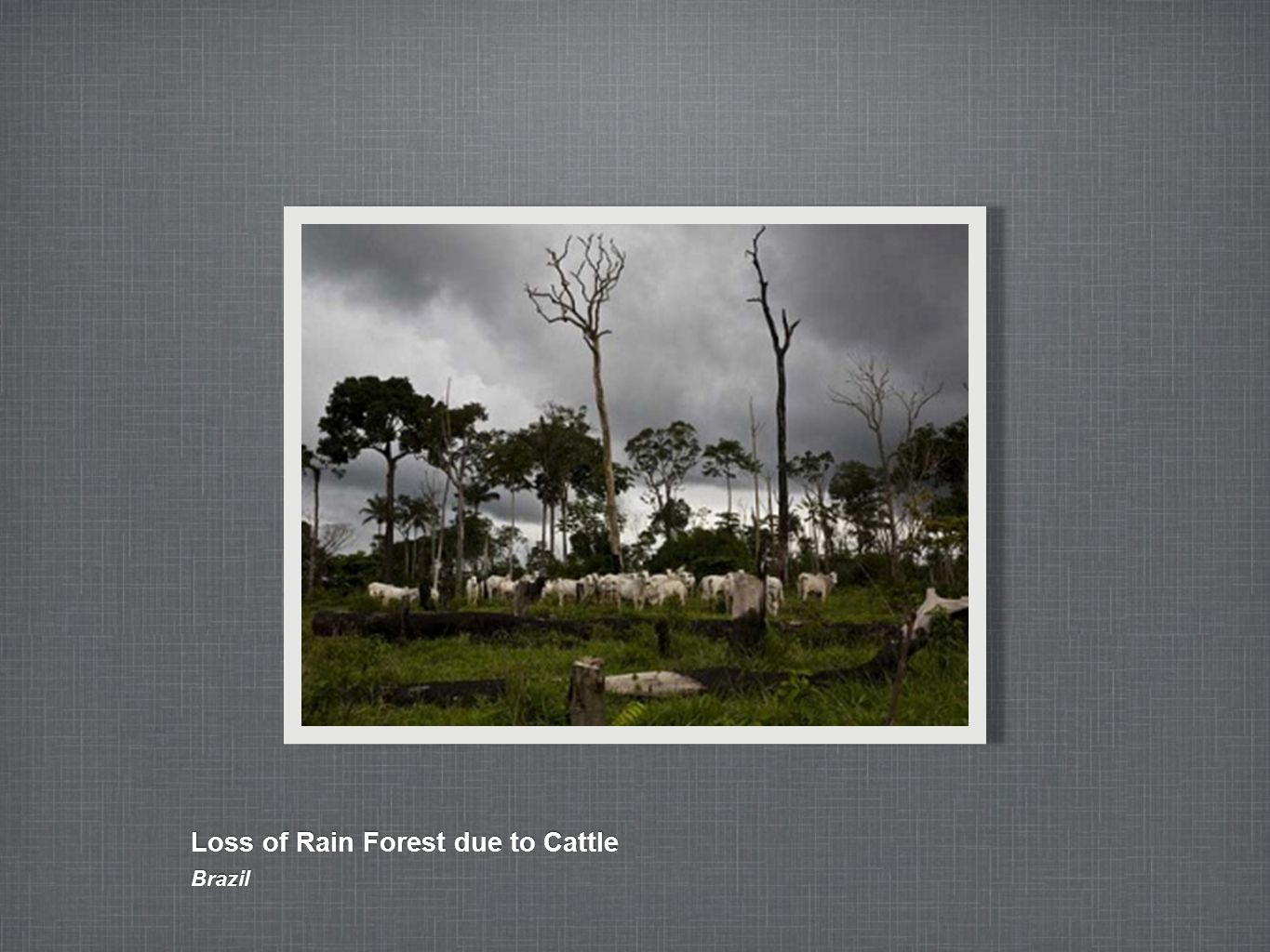 Loss of Rain Forest due to Cattle Brazil