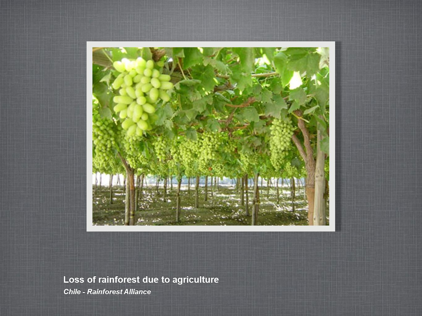 Loss of rainforest due to agriculture Chile - Rainforest Alliance