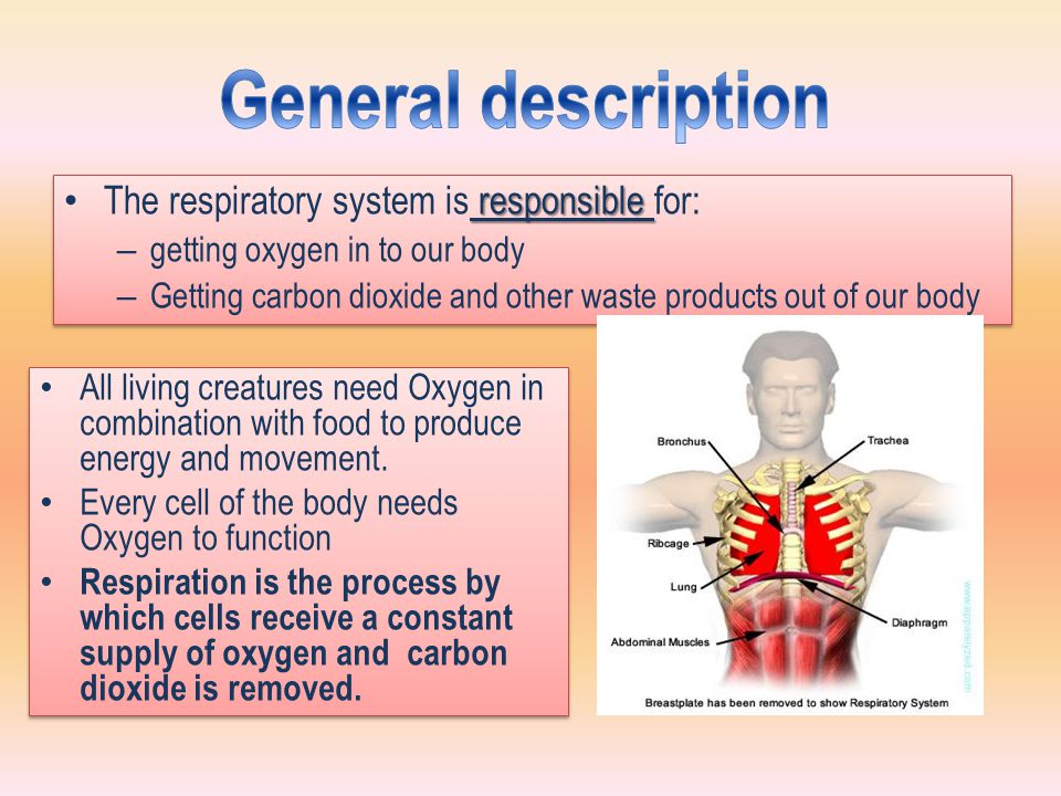 responsible The respiratory system is responsible for: – getting oxygen in to our body – Getting carbon dioxide and other waste products out of our body responsible The respiratory system is responsible for: – getting oxygen in to our body – Getting carbon dioxide and other waste products out of our body All living creatures need Oxygen in combination with food to produce energy and movement.