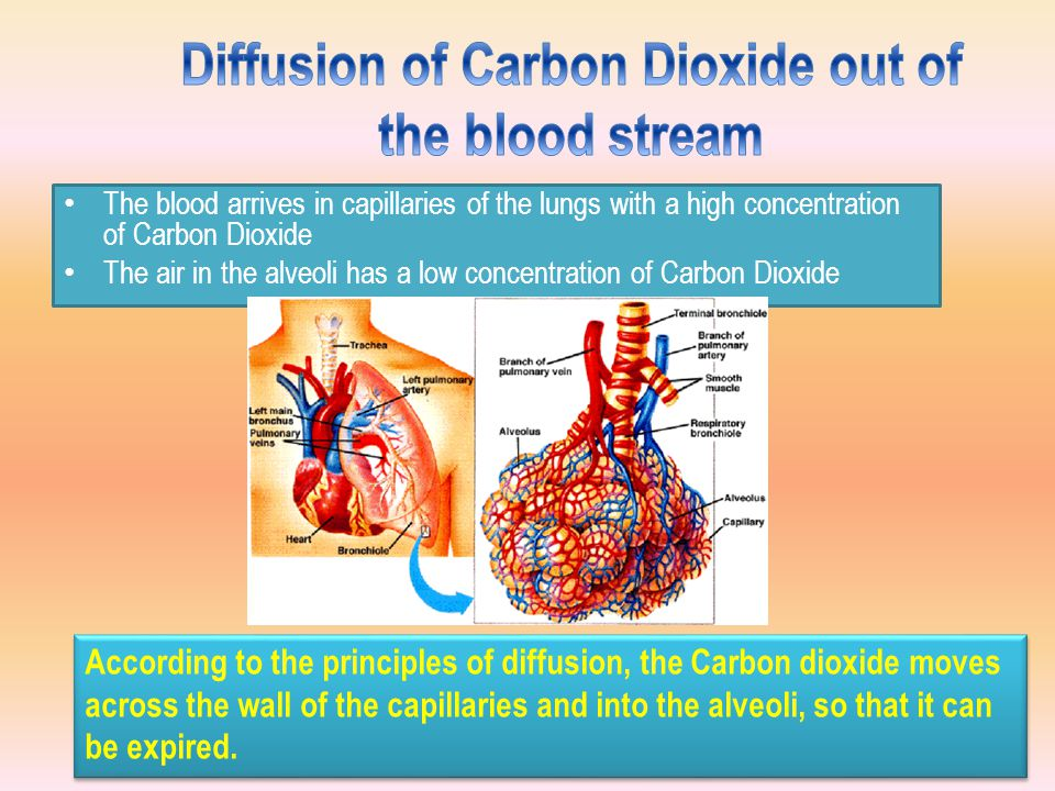 The blood arrives in capillaries of the lungs with a high concentration of Carbon Dioxide The air in the alveoli has a low concentration of Carbon Dioxide According to the principles of diffusion, the Carbon dioxide moves across the wall of the capillaries and into the alveoli, so that it can be expired.