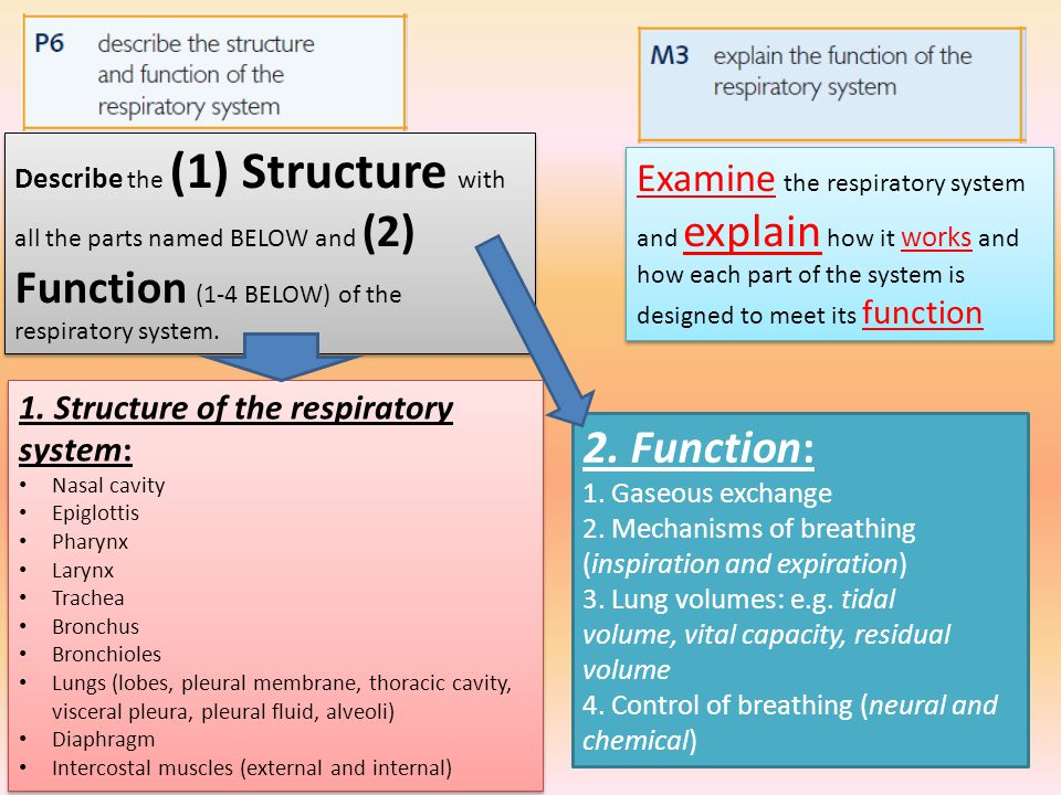 Describe the (1) Structure with all the parts named BELOW and (2) Function (1-4 BELOW) of the respiratory system. 2. Function: 1. Gaseous exchange 2.