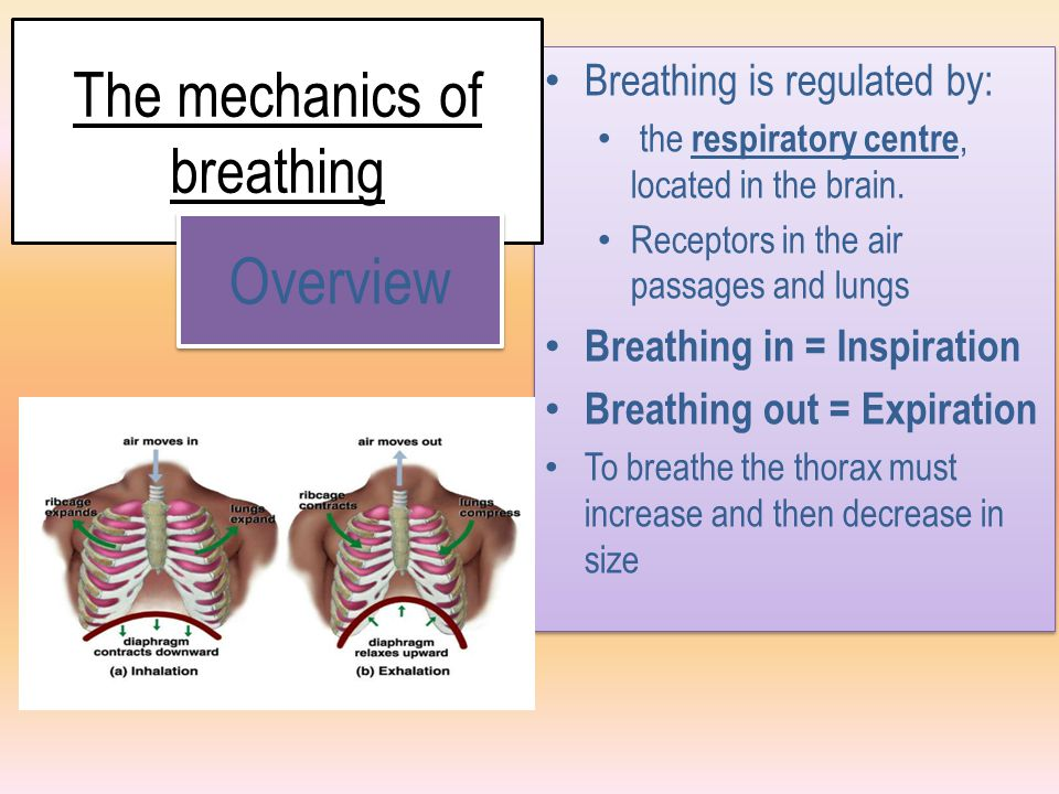 Inspiration In order to breathe in the volume of the chest cavity needs to increase.