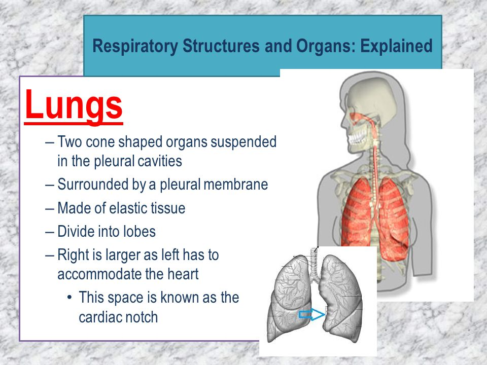 Lungs – Two cone shaped organs suspended in the pleural cavities – Surrounded by a pleural membrane – Made of elastic tissue – Divide into lobes – Rig