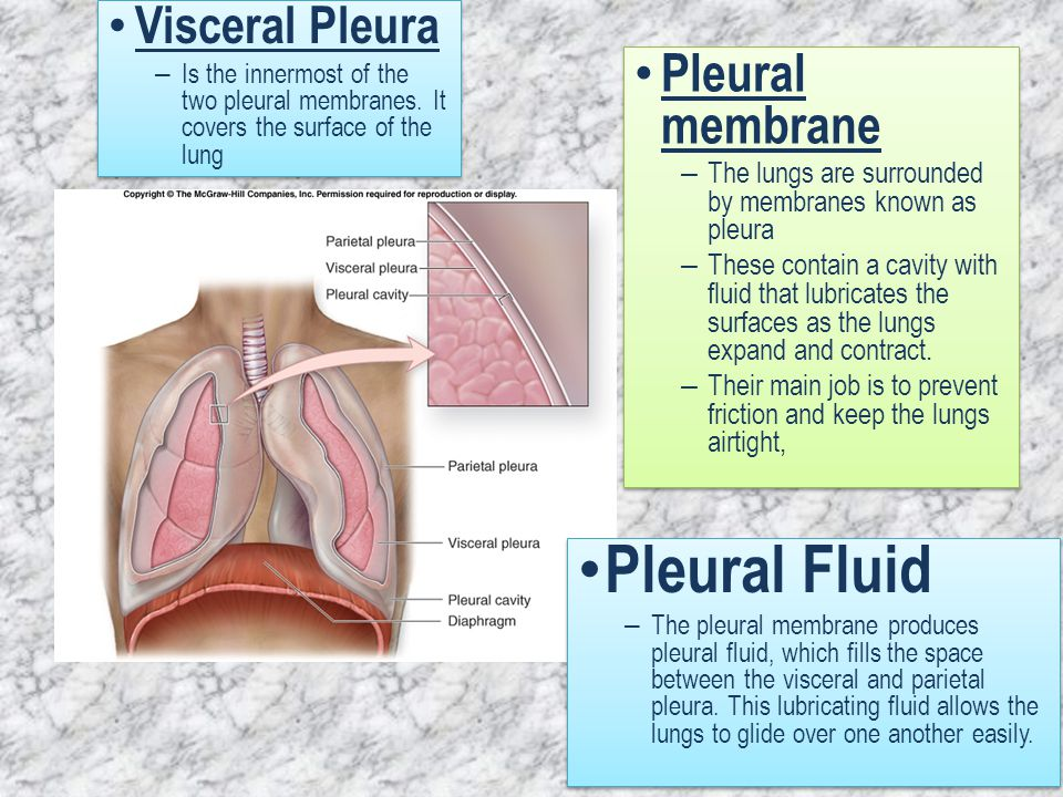 Pleural membrane – The lungs are surrounded by membranes known as pleura – These contain a cavity with fluid that lubricates the surfaces as the lungs