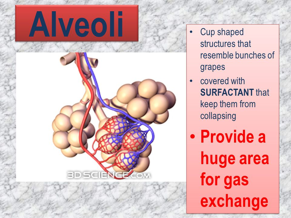Alveoli Cup shaped structures that resemble bunches of grapes covered with SURFACTANT that keep them from collapsing Provide a huge area for gas excha
