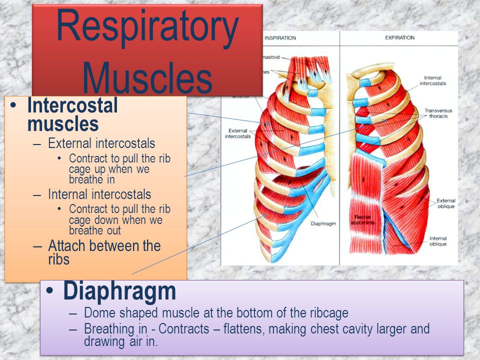 Respiratory Muscles Intercostal muscles – External intercostals Contract to pull the rib cage up when we breathe in – Internal intercostals Contract t
