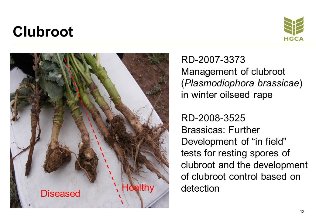 Clubroot 12 RD-2007-3373 Management of clubroot (Plasmodiophora brassicae) in winter oilseed rape RD-2008-3525 Brassicas: Further Development of in field tests for resting spores of clubroot and the development of clubroot control based on detection Diseased Healthy