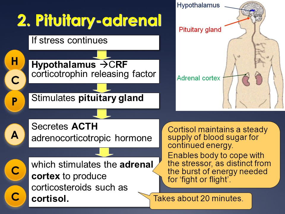 2. Pituitary-adrenal which stimulates the adrenal cortex to produce corticosteroids such as cortisol. If stress continues Secretes ACTH adrenocorticot
