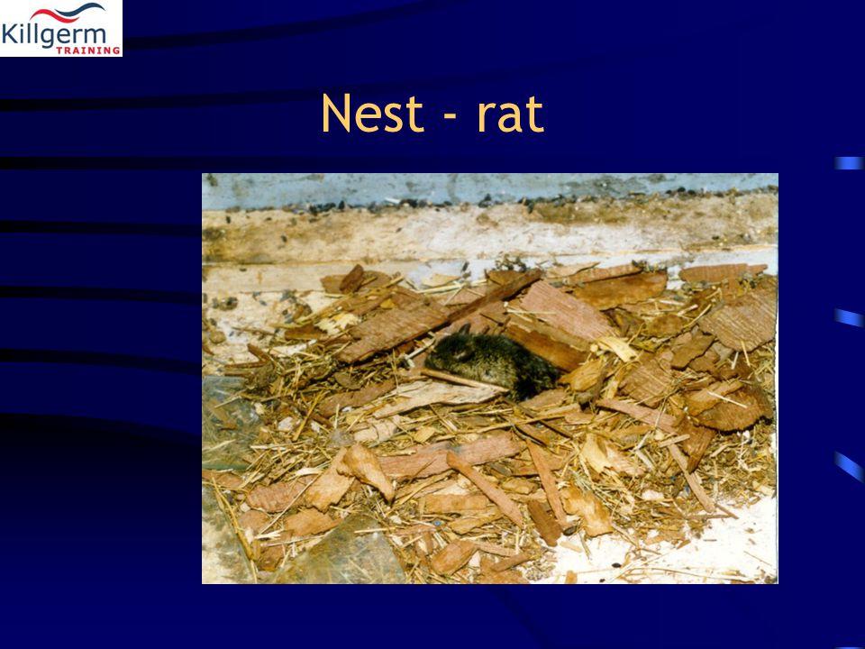 Nest - rat