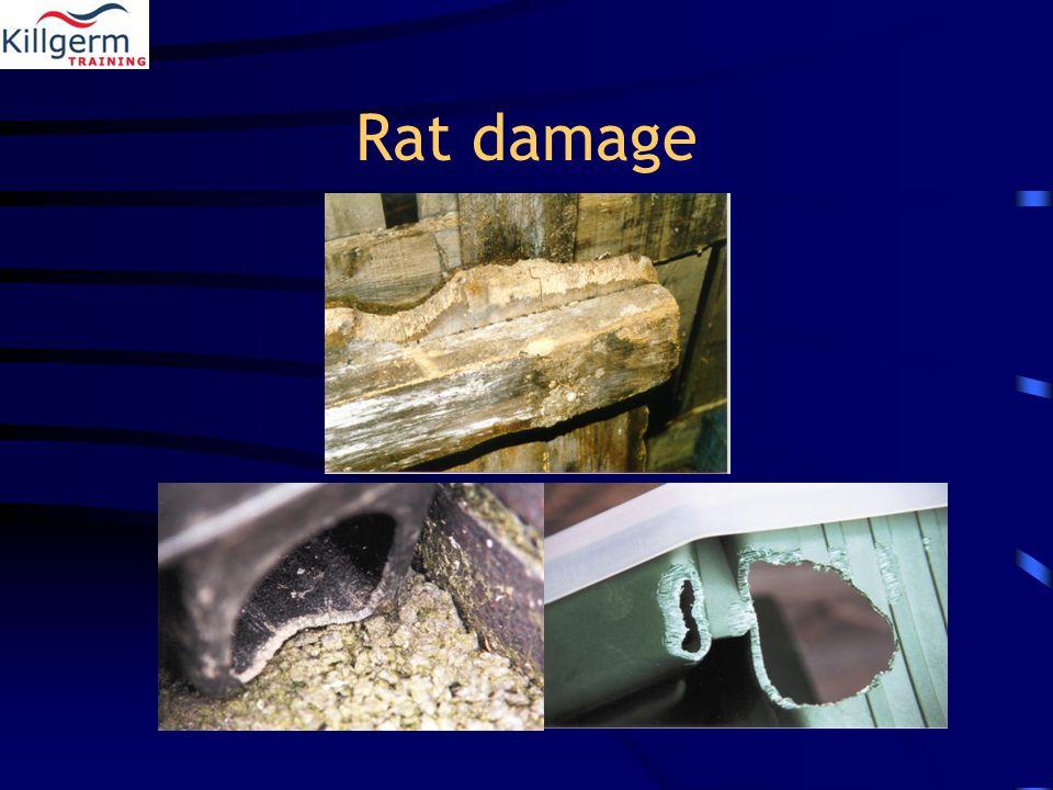 Rat damage