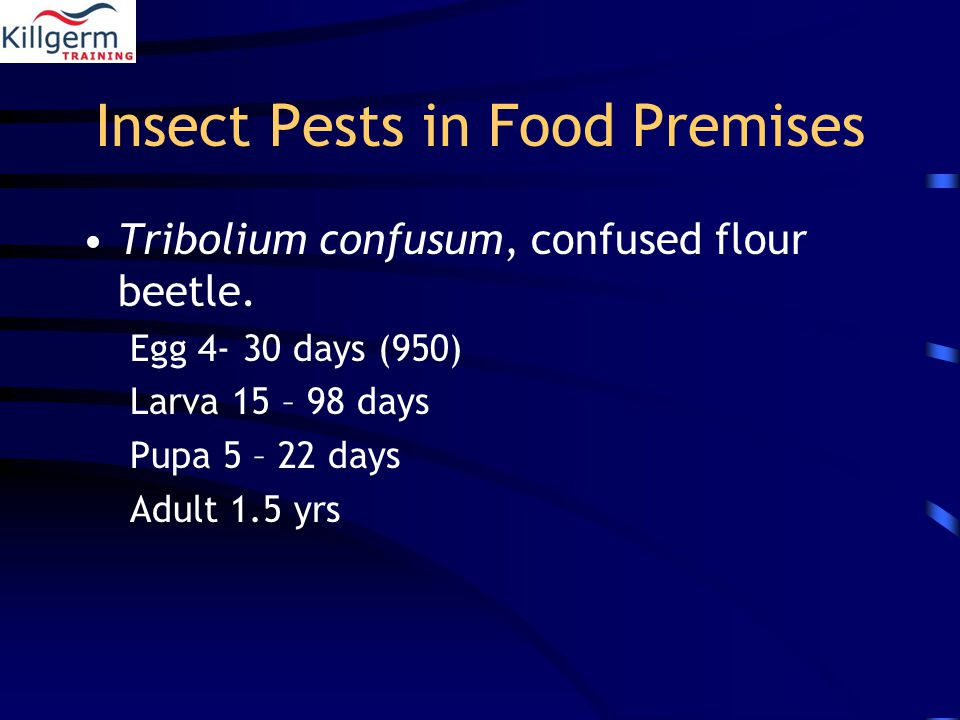 Insect Pests in Food Premises Tribolium confusum, confused flour beetle.