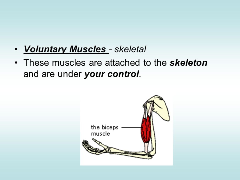 Voluntary Muscles - skeletal These muscles are attached to the skeleton and are under your control.
