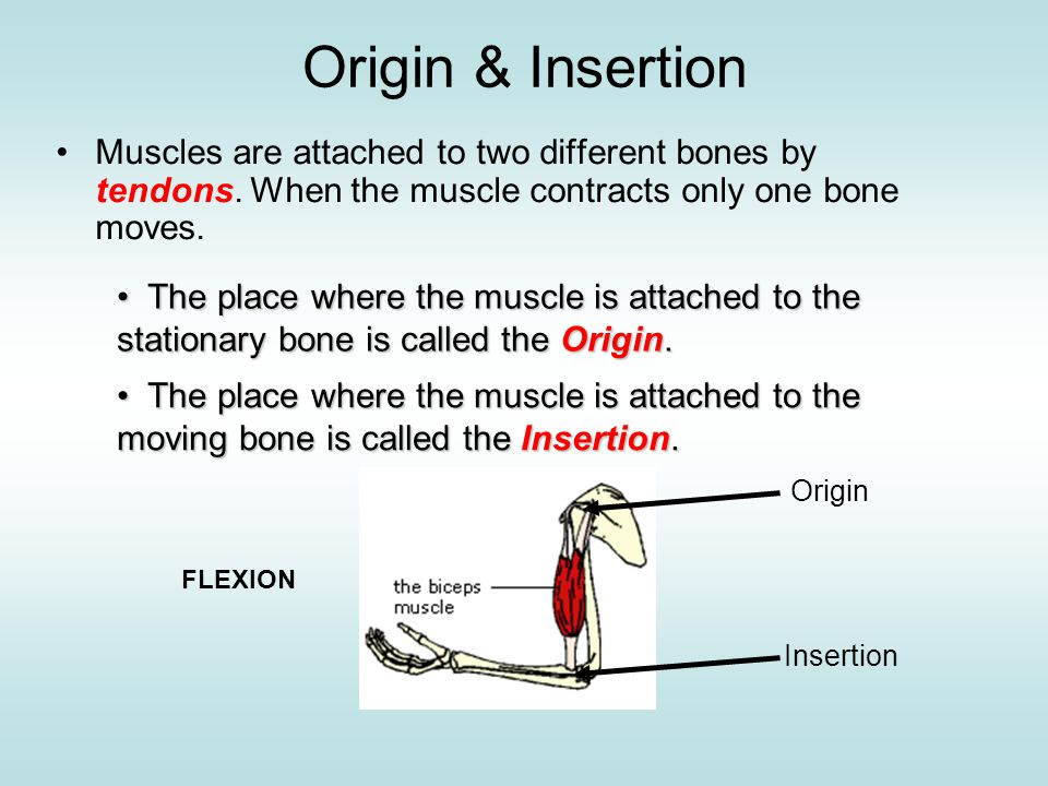 ___origin _____ tendon ___insertion___ tendon ___origin______ tendon ___insertion____ tendon forearm is lowered