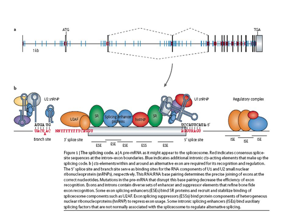 NMD Example 2 Rare truncating mutations that occur near the 3' end of the dystrophin gene result in variable mild phenotypes, suggesting these truncating proteins are capable of a partial rescue of the DMD phenotype.