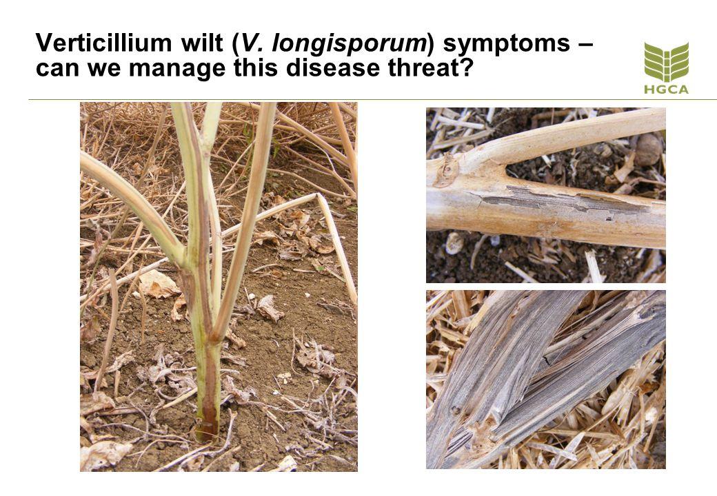Verticillium wilt (V. longisporum) symptoms – can we manage this disease threat
