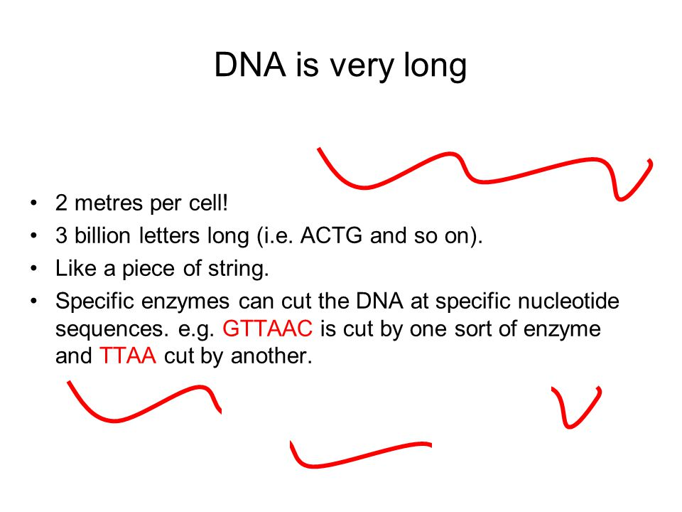 DNA is very long 2 metres per cell! 3 billion letters long (i.e. ACTG and so on). Like a piece of string. Specific enzymes can cut the DNA at specific