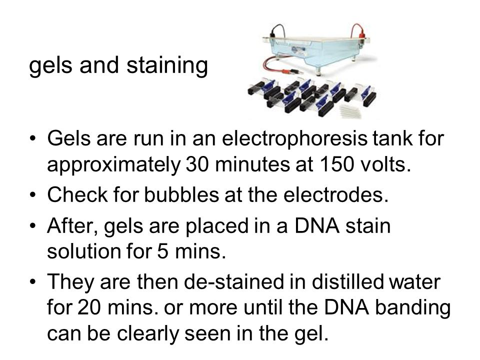gels and staining Gels are run in an electrophoresis tank for approximately 30 minutes at 150 volts. Check for bubbles at the electrodes. After, gels