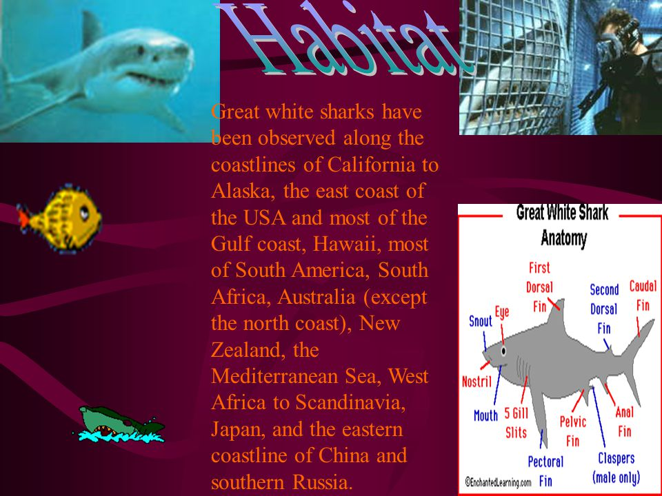 Great white sharks have been observed along the coastlines of California to Alaska, the east coast of the USA and most of the Gulf coast, Hawaii, most of South America, South Africa, Australia (except the north coast), New Zealand, the Mediterranean Sea, West Africa to Scandinavia, Japan, and the eastern coastline of China and southern Russia.