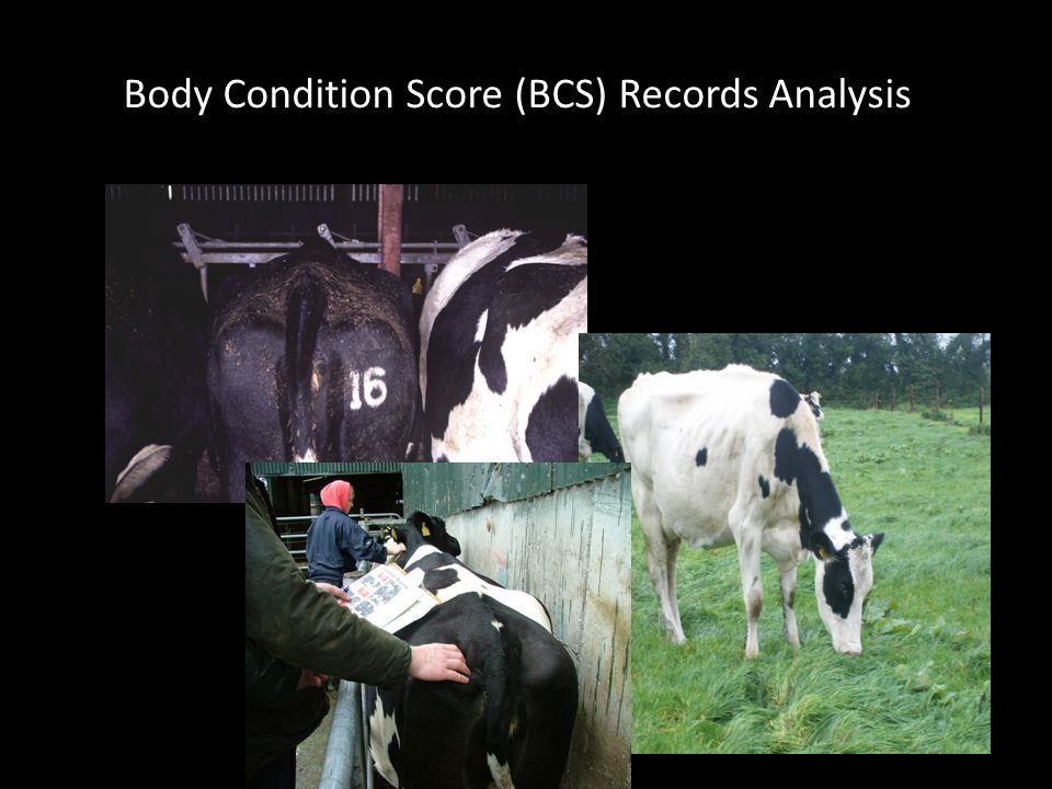 Body Condition Score (BCS) Records Analysis
