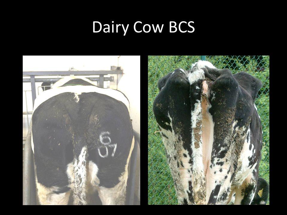 Dairy Cow BCS