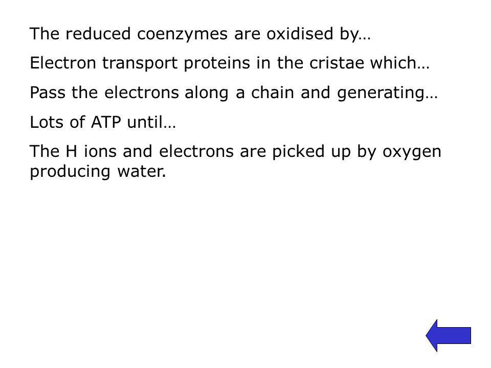The reduced coenzymes are oxidised by… Electron transport proteins in the cristae which… Pass the electrons along a chain and generating… Lots of ATP until… The H ions and electrons are picked up by oxygen producing water.