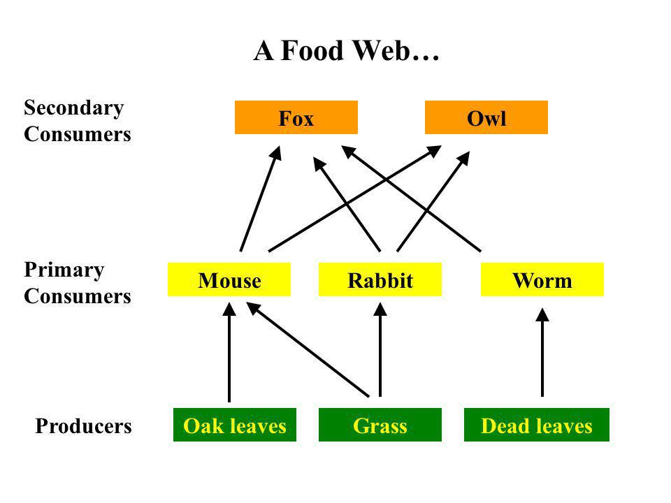 Producers Secondary Consumers Primary Consumers Grass Rabbit Fox Dead leavesOak leaves Mouse A Food Web… Worm Owl