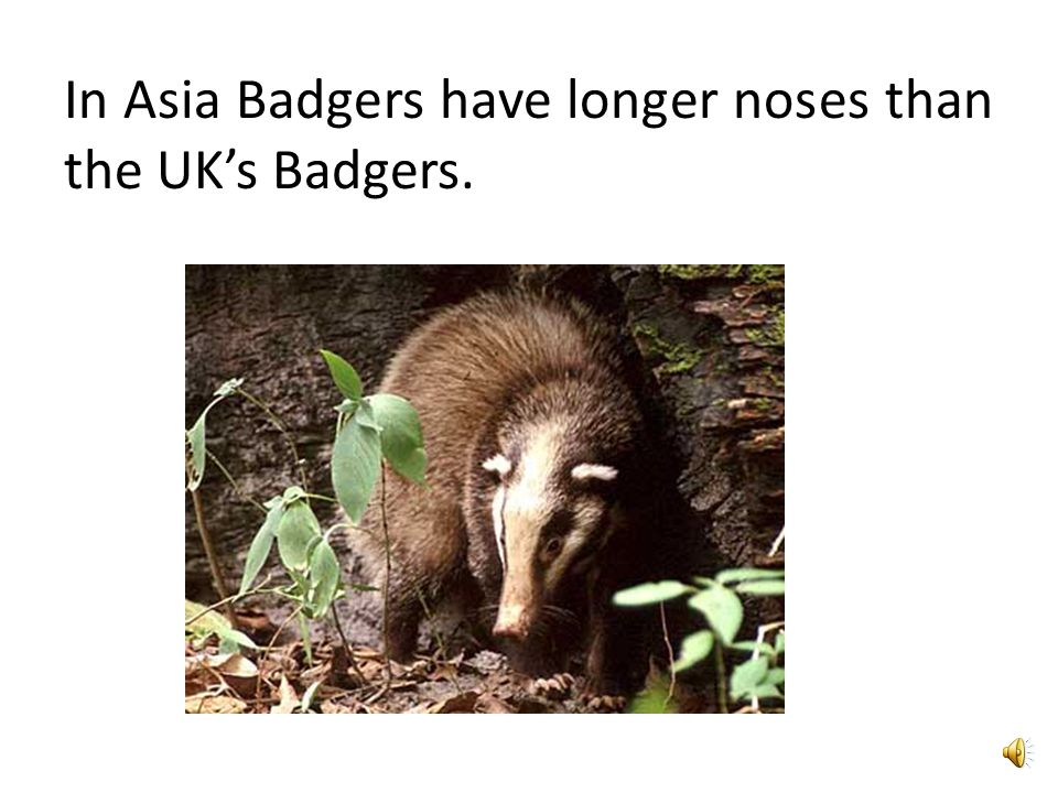 Badgers legs are 5 inches long.