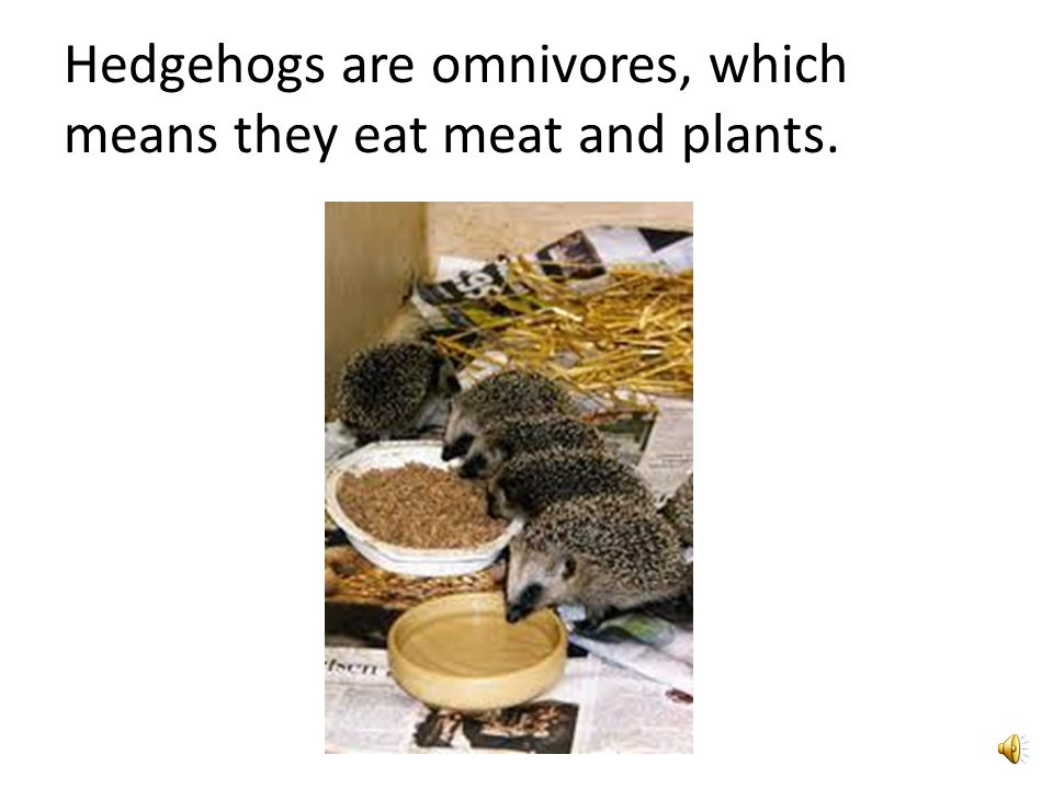 Facts on Hedgehogs Slide 3