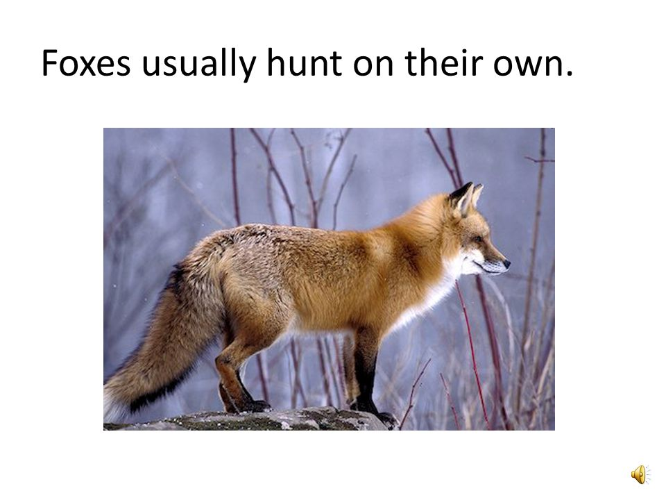 Facts on Foxes By Kaviyanjali Rasalingam 2P
