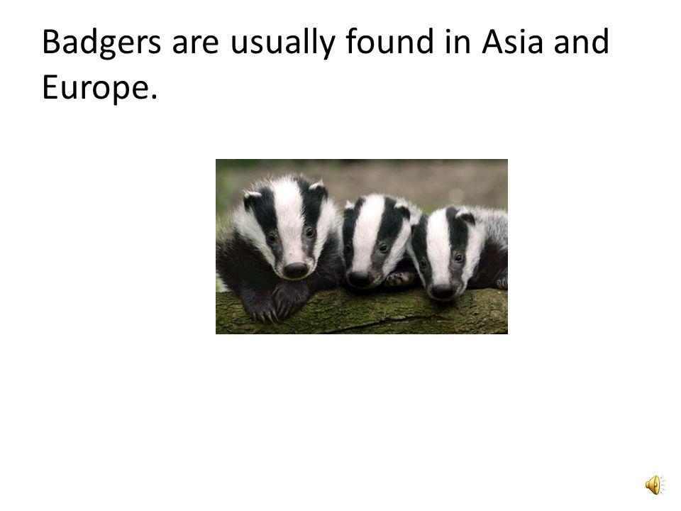 Facts on Badgers Slide 2