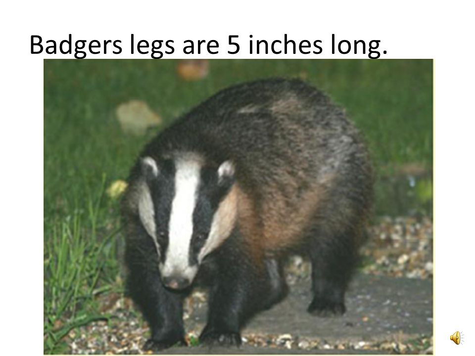 Badgers are usually found in Asia and Europe.