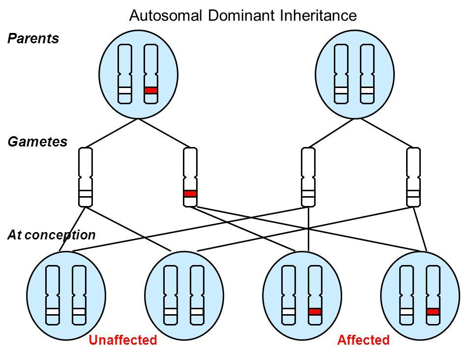 Parents Gametes At conception Autosomal Dominant Inheritance AffectedUnaffected