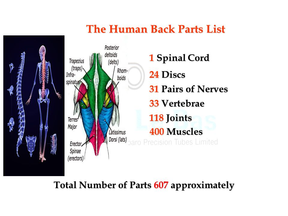 400 Muscles 118 Joints 33 Vertebrae 31 Pairs of Nerves 24 Discs 1 Spinal Cord Total Number of Parts 607 approximately The Human Back Parts List