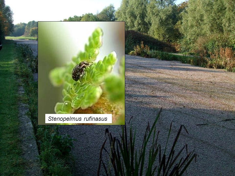 Water Fern / Fairy Moss Fern Azolla filiculoides Stenopelmus rufinasus