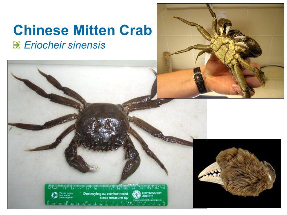 Chinese Mitten Crab Eriocheir sinensis