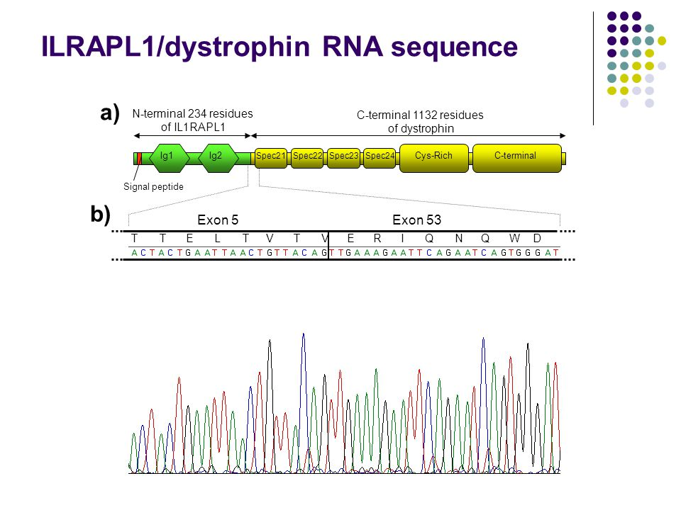 N-terminal 234 residues of IL1RAPL1 C-terminal 1132 residues of dystrophin Ig1Ig2 Spec21Spec22Spec23Spec24 Cys-RichC-terminal Signal peptide Exon 5Exon 53 LTVTVERIQETTNQWD a) b) ILRAPL1/dystrophin RNA sequence
