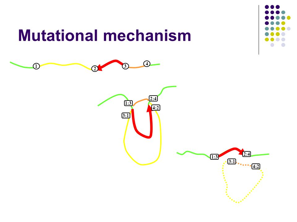 13 4 2 13 4 2 1:3 2:4 4:2 3:1 1:3 2:4 3:1 4:2 Mutational mechanism