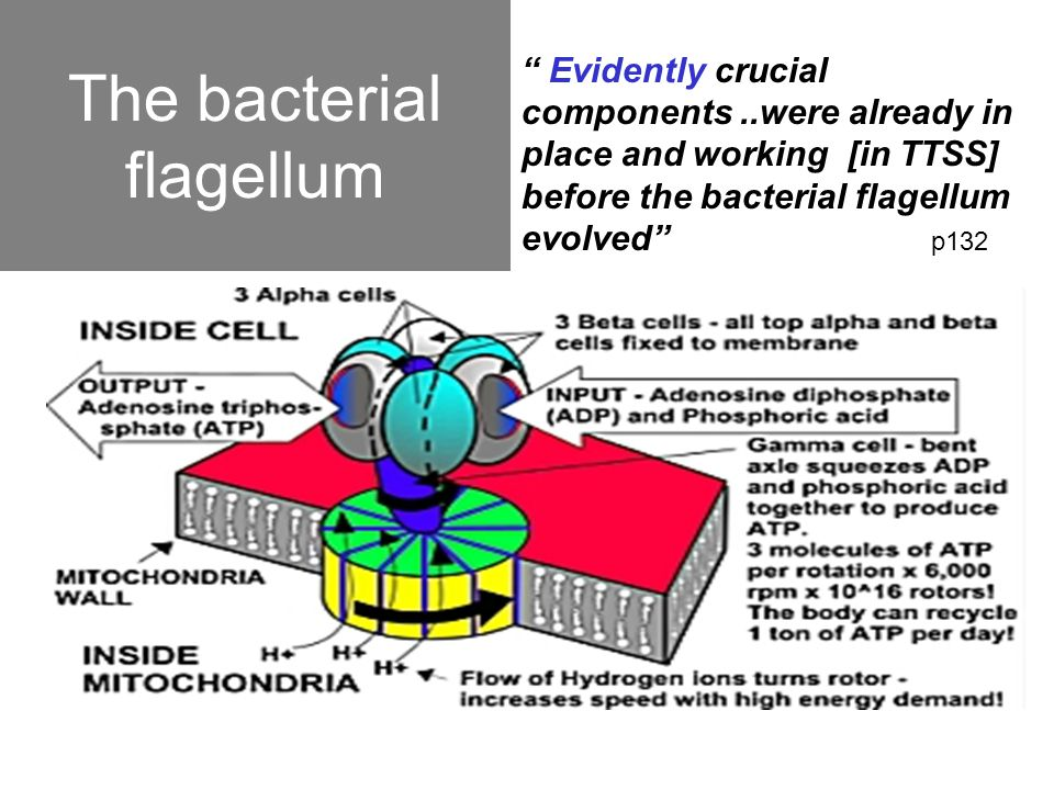 """The bacterial flagellum """" Evidently crucial components..were already in place and working [in TTSS] before the bacterial flagellum evolved"""" p132"""