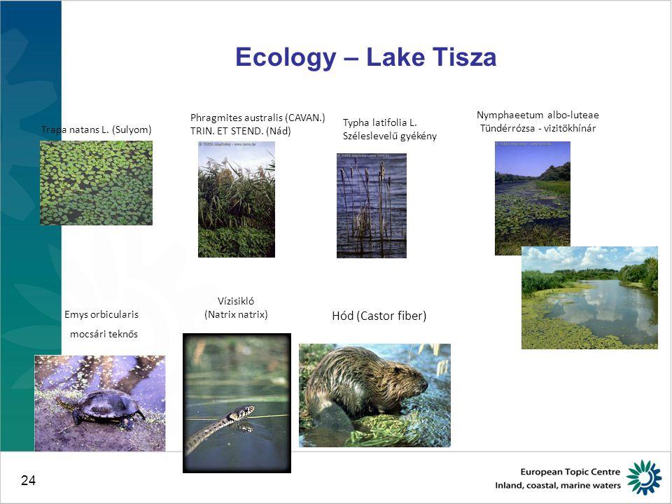 24 Ecology – Lake Tisza Trapa natans L. (Sulyom) Phragmites australis (CAVAN.) TRIN.