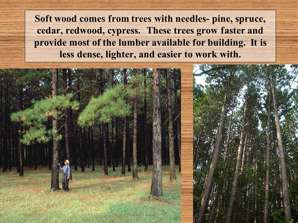 Soft wood comes from trees with needles- pine, spruce, cedar, redwood, cypress. These trees grow faster and provide most of the lumber available for b