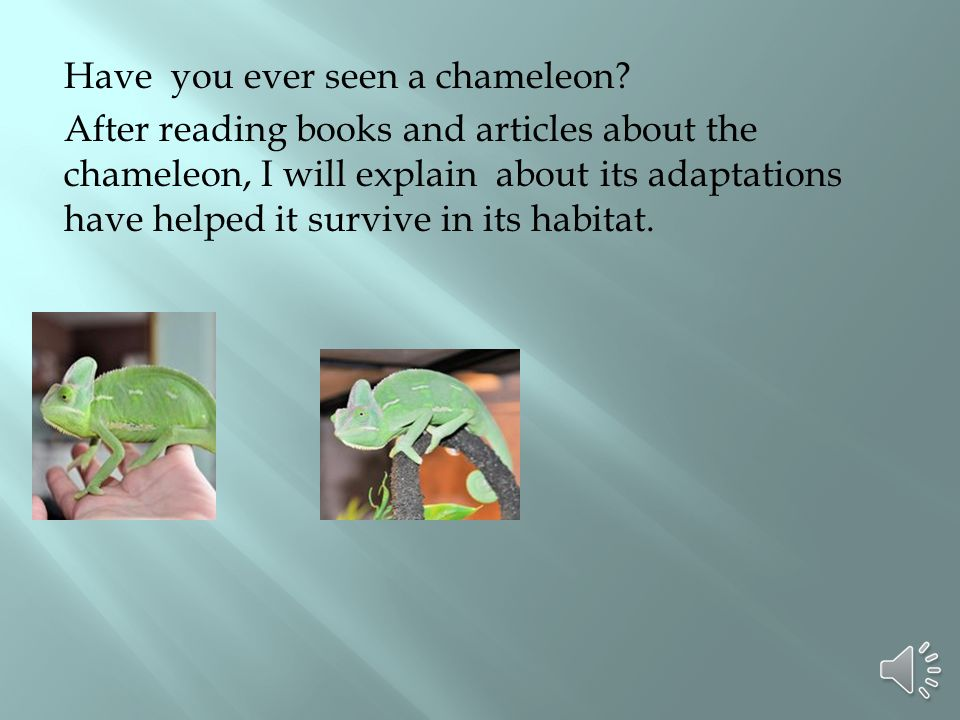 Have you ever seen a chameleon? After reading books and articles about the chameleon, I will explain about its adaptations have helped it survive in i