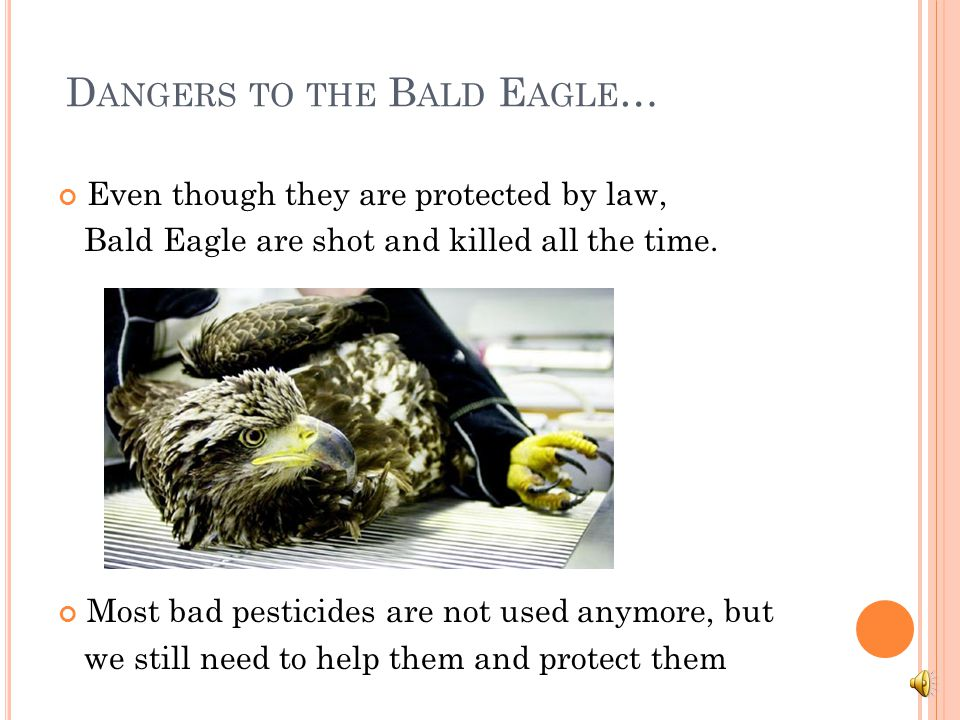 M ORE ABOUT BALD EAGLES An adult bald eagle has little to fear from other birds or animals. Their keen eyesight, powerful beaks, talons, and flying ab