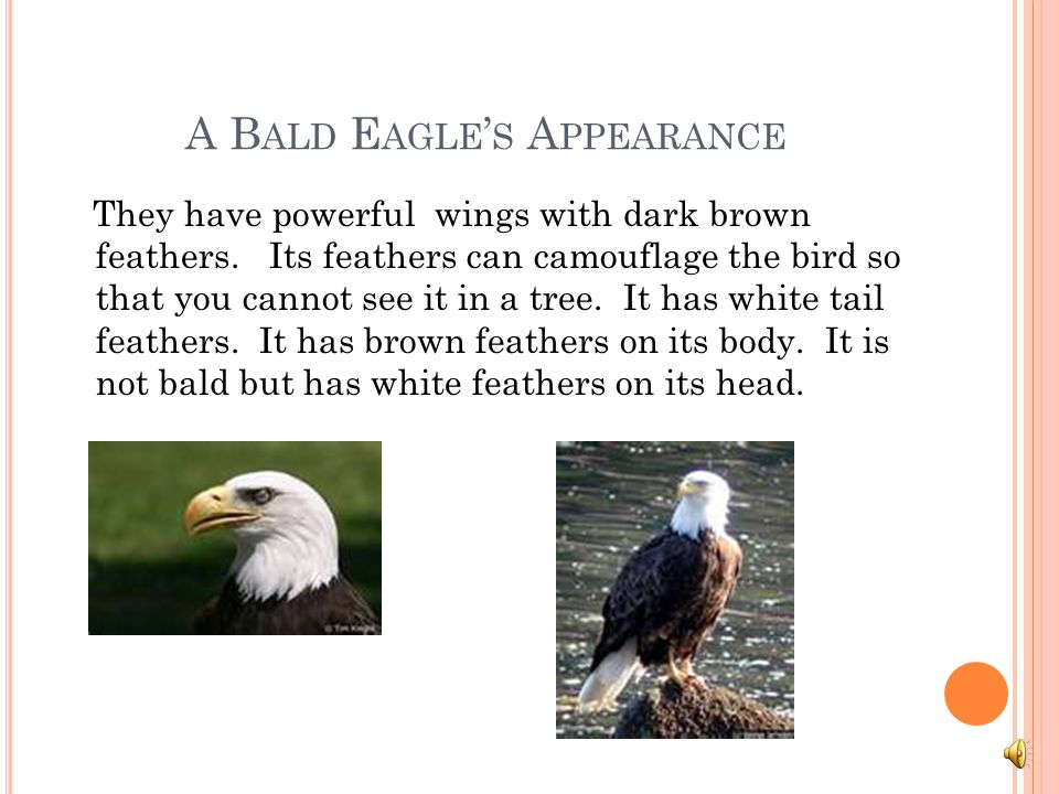 M Y ANIMAL HAS ADAPTED TO HIS ENVIRONMENT. Bald Eagles live near rivers and large lakes. It likes to eat fish and has strong powerful wings. The wings